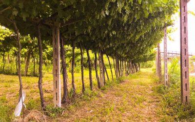 Bella Italia – Zypressen, Oliven, Weinstöcke
